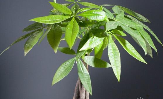 1.摇钱树栽培管理较为简单,移植时适当剪短主根及粗侧根,这样可以促进多发须根,容易成活。 2.摇钱树养殖:栽培土质以深厚,湿润的土壤最为适宜。喜光,能耐半阴,耐寒。具深根性,产生萌蘖的能力强,耐干旱、瘠薄,能耐短期积水,对烟尘有较强的抗性。 关注更多风水知识可以查看: